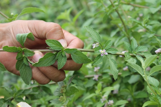 Cólicos, remedios naturales